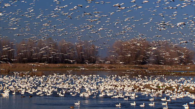 Snow geese flock to restored wetlands within California's Colusa National Wildlife Refuge, a scene captured in KQED's Becoming California. The documentary won a Northern California Emmy Award. (Photo: Kit Tyler)