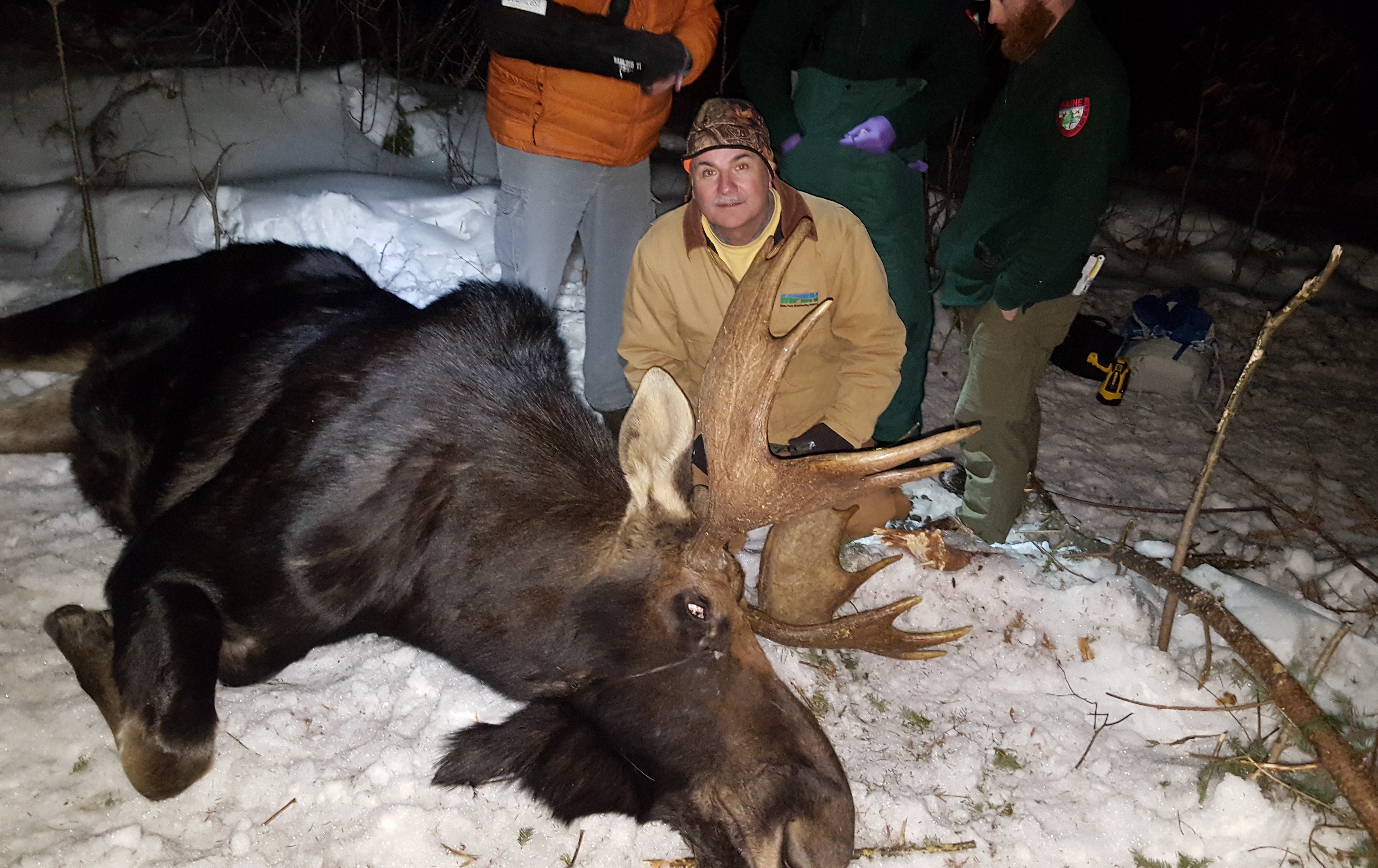 Mahaney poses for a photograph with the tranquilized moose. (Photo: Maine Public)